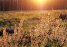 一束草在日落的拂子茅epigeios 免版税图库摄影