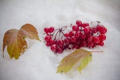 一束荚莲属的植物在第一雪的一下落 图库摄影