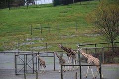 一束长颈鹿 库存图片