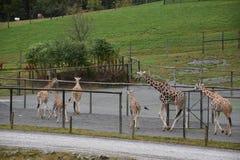 一束长颈鹿 免版税库存图片