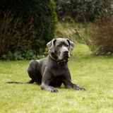 一条丹麦种大狗狗 库存照片