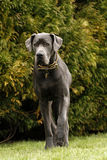 一条丹麦种大狗狗 免版税图库摄影