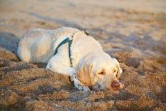 一条乏味拉布拉多狗 库存照片