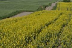 一条乡下公路通过强奸的耕种 开花的黄色强奸 免版税库存图片