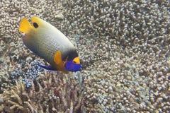 一条五颜六色的成人imperator天使鱼在西巴丹岛,婆罗洲,马来西亚 免版税图库摄影