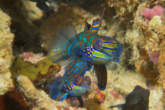一条五颜六色的普通话鱼 免版税库存照片