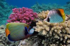 一条五颜六色的皇帝神仙鱼 红海 免版税库存照片