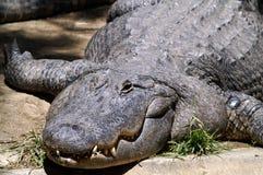 一条休息的鳄鱼的画象 库存图片