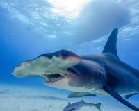 一条伟大的双髻鲨的嘴在巴哈马 图库摄影