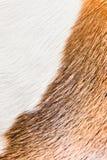 一条光滑头发的狗(小猎犬)的健康皮肤 免版税库存图片