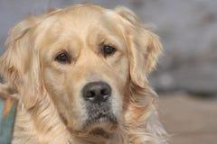一条公金毛猎犬狗的画象 库存照片