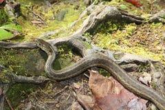 一条共同的花纹蛇的特写镜头 免版税图库摄影