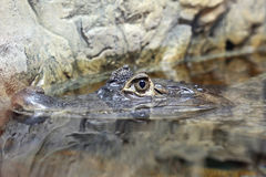 一条凯门鳄鳄鱼的头在水中 图库摄影