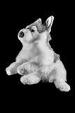 一条北因纽特人狗的玩具 免版税库存图片