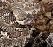 一条南部的和平的响尾蛇的纵向。 免版税库存图片