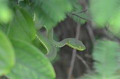一条危险蛇 库存图片