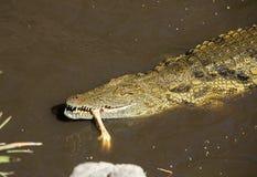 一条危险鳄鱼在费埃特文图拉岛的绿洲公园 免版税库存照片