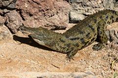 一条危险鳄鱼在费埃特文图拉岛的绿洲公园 免版税库存图片