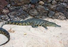 一条危险鳄鱼在费埃特文图拉岛的绿洲公园 库存图片