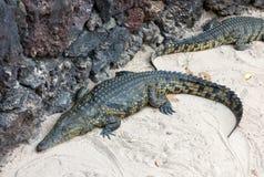 一条危险鳄鱼在费埃特文图拉岛的绿洲公园 免版税图库摄影