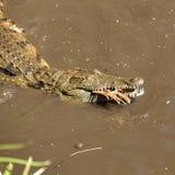 一条危险鳄鱼 免版税库存照片