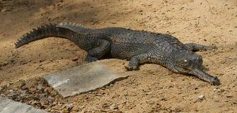 一条取暖的鳄鱼 库存图片