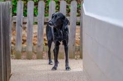 一条可爱的大狗的照片在家庭菜园的 库存照片