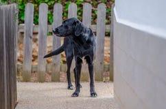 一条可爱的大狗的照片在家庭菜园的 免版税库存图片