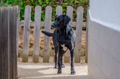一条可爱的大狗的照片在家庭菜园的 免版税库存照片