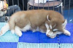 一条可爱的奇怪的棕色狗 免版税库存照片