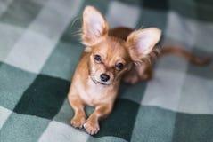 一条可爱的奇瓦瓦狗狗的画象的美好的关闭 免版税图库摄影