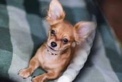 一条可爱的奇瓦瓦狗狗的画象的美好的关闭 图库摄影