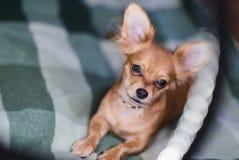 一条可爱的奇瓦瓦狗狗的画象的美好的关闭 库存图片