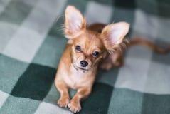 一条可爱的奇瓦瓦狗狗的画象的美好的关闭 库存照片
