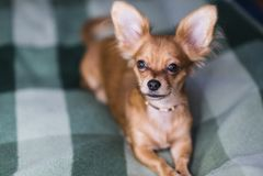一条可爱的奇瓦瓦狗狗的画象的美好的关闭 免版税库存照片