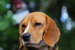 一条可爱的小猎犬狗的画象 图库摄影
