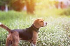 一条可爱的小猎犬狗 库存图片