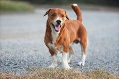 一条可爱的棕色狗的画象 库存照片