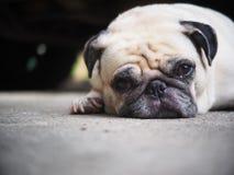 一条可爱的白色肥胖逗人喜爱的哈巴狗狗的画象照片 免版税库存图片