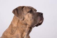 一条听的狗 免版税库存照片