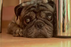 一条哀伤的狗在地板上说谎在桌下 免版税库存图片