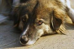 一条哀伤的狗的Ð ortrait 库存图片