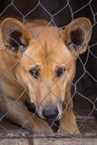一条哀伤的狗的画象与哀伤的神色的在笼子 免版税库存照片