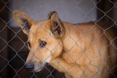 一条哀伤的狗的画象在铁栅栏的 免版税库存照片