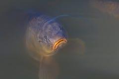 一条哀伤的看的鱼 免版税图库摄影