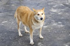 一条哀伤的红色狗的画象 免版税库存照片