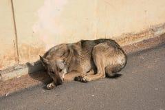 一条哀伤的街道狗在沥青说谎 库存图片