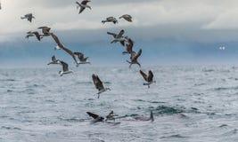 一条噬人鲨的飞翅和海鸥吃从一只大白鲨鱼的牺牲者的零散物 库存照片