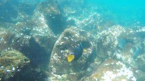 一条国王神仙鱼的水下的射击在isla圣塔菲的在加拉帕戈斯群岛 股票录像