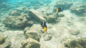 一条国王神仙鱼的水下的射击在isla巴托洛梅岛的在加拉帕戈斯 影视素材